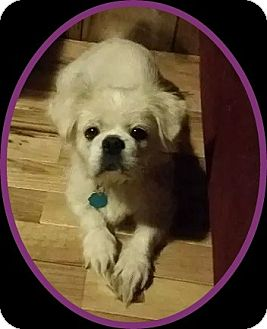 Pekingese/Yorkie, Yorkshire Terrier Mix Dog for adoption in Portland, Maine - Ava (N. Tazewell, VA)