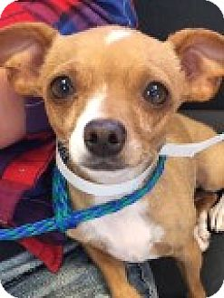 Chihuahua Mix Dog for adoption in Las Vegas, Nevada - Sweet Pea