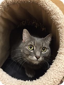 Munchkin Cat for adoption in Huntley, Illinois - Penelope
