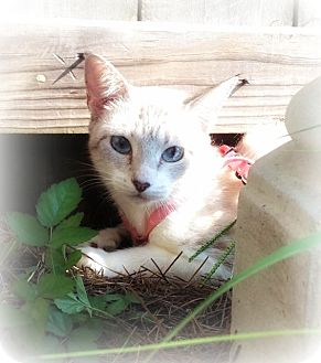 Siamese Cat for adoption in Ocean Springs, Mississippi - Carlie