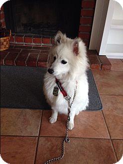 American Eskimo Dog Dog for adoption in Corona, California - Kuna, Purebred American Eskimo