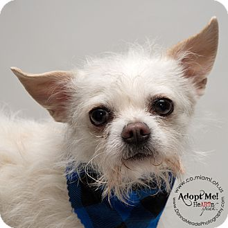 Chihuahua Mix Dog for adoption in Troy, Ohio - Geo