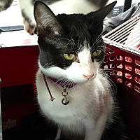 Domestic Shorthair Cat for adoption in Valley Stream, New York - Pickles
