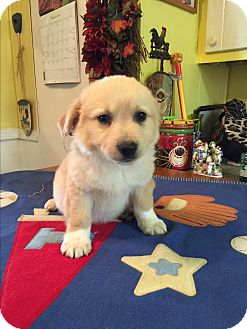 Pomeranian Mix Puppy for adoption in Kittery, Maine - Ryan