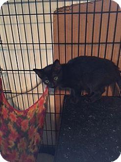 Domestic Shorthair Kitten for adoption in Warren, Michigan - Ducky