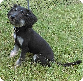 Schnauzer (Standard) Mix Puppy for adoption in Claremore, Oklahoma - Pickles