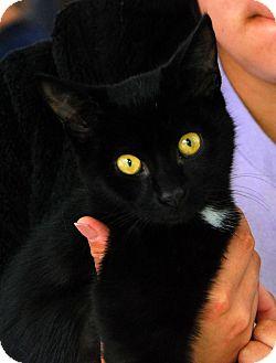 Domestic Shorthair Kitten for adoption in Salamanca, New York - Domino