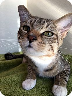 Domestic Shorthair Cat for adoption in Las Vegas, Nevada - Swayze