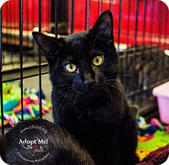 Domestic Shorthair Kitten for adoption in Charlotte, North Carolina - A..  Penny