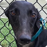 Adopt A Pet :: AMF Courtesan - Longwood, FL