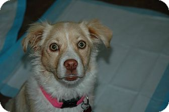 Border Collie Mix Puppy for adoption in Antioch, California - Cali