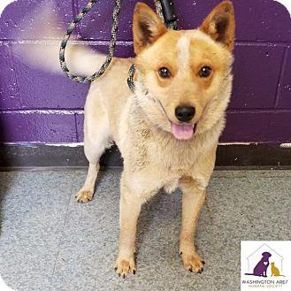 Australian Cattle Dog Dog for adoption in Eighty Four, Pennsylvania - Louie