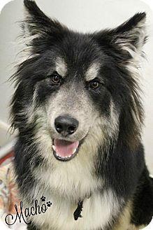 Husky/Alaskan Malamute Mix Dog for adoption in Dunkirk, New York - Macho