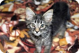 Domestic Mediumhair Kitten for adoption in Huntsville, Alabama - Muggie Maggie