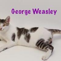 Adopt A Pet :: George Weasley - Baton Rouge, LA