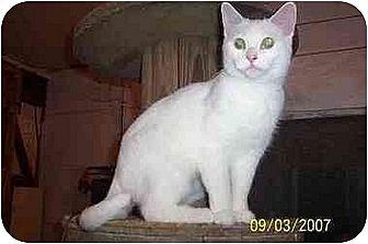 Domestic Shorthair Cat for adoption in Chapman Mills, Ottawa, Ontario - PENELOPE