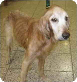 Golden Retriever Dog for adoption in Cleveland, Ohio - Sadie Mae