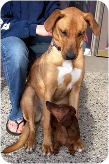 Collie/Rhodesian Ridgeback Mix Dog for adoption in Muskegon, Michigan - RIVER