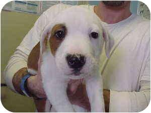 Golden Retriever/American Bulldog Mix Puppy for adoption in Rochester Hills, Michigan - Blaze