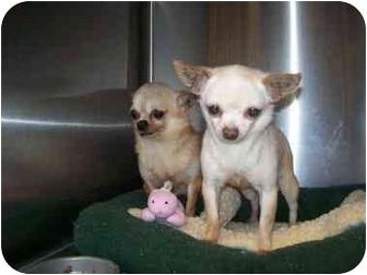 Chihuahua Dog for adoption in Spokane, Washington - Creamella
