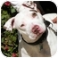 Photo 1 - American Bulldog/Pit Bull Terrier Mix Dog for adoption in El Segundo, California - Zsa Zsa
