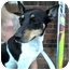 Photo 1 - Smooth Fox Terrier Dog for adoption in Louisville, Kentucky - Mojo