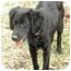 Photo 1 - Flat-Coated Retriever/Hound (Unknown Type) Mix Puppy for adoption in Hamburg, Pennsylvania - Velvet