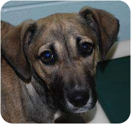 Shepherd (Unknown Type) Mix Puppy for adoption in Vineland, New Jersey - Tammy