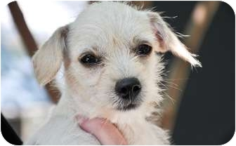 Fox Terrier (Wirehaired)/Terrier (Unknown Type, Small) Mix Puppy for adoption in Wimberley, Texas - Sally