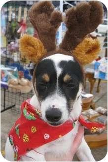 Rat Terrier/Papillon Mix Dog for adoption in Vidor, Texas - Pippi