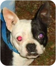 Boston Terrier Mix Dog for adoption in Spring Valley, New York - Sassy Frassy