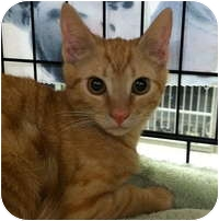 Domestic Shorthair Kitten for adoption in Tampa, Florida - Maggie
