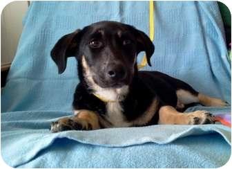 Basset Hound Mix Puppy for adoption in San Antonio, Texas - Roxie