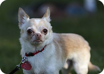 Chihuahua Mix Dog for adoption in Ile-Perrot, Quebec - Elvis