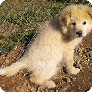 Great Pyrenees/Labrador Retriever Mix Puppy for adoption in Athens, Georgia - Cotton