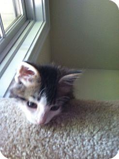Domestic Mediumhair Kitten for adoption in Trevose, Pennsylvania - Francis