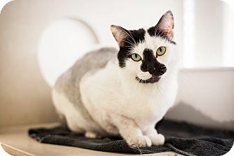 Domestic Shorthair Cat for adoption in Dallas, Texas - Shasta