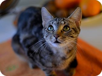 Bengal Cat for adoption in Brooklyn, New York - Chips