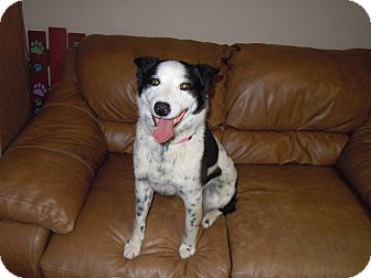 Cattle Dog Mix Dog for adoption in Meridian, Idaho - Leah