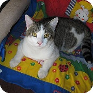 Egyptian Mau Cat for adoption in Miami, Florida - Little Buddy