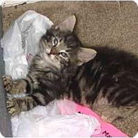 Adopt A Pet :: Tiger - Davis, CA