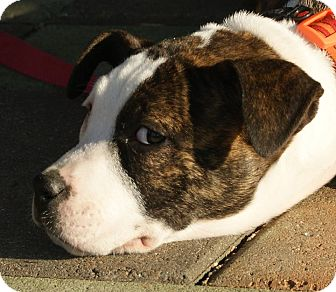 Pit Bull Terrier Mix Puppy for adoption in Dayton, Ohio - Blossom