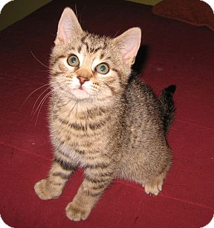Domestic Shorthair Kitten for adoption in Colmar, Pennsylvania - Benji-Adoption Pending!