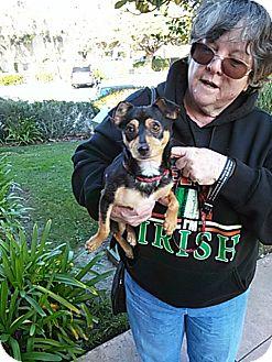 Chihuahua/Miniature Pinscher Mix Dog for adoption in Antioch, California - Suzie Q