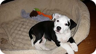 American Pit Bull Terrier Mix Puppy for adoption in Oak Lawn, Illinois - Molly