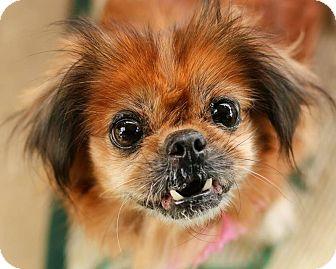 Pekingese Mix Dog for adoption in Cincinnati, Ohio - Sassy