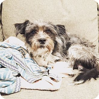 Terrier (Unknown Type, Medium)/Schnauzer (Miniature) Mix Puppy for adoption in Los Angeles, California - Bandit loves DOGS!