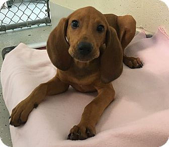 Redbone Coonhound Mix Puppy for adoption in Burgaw, North Carolina - Reba