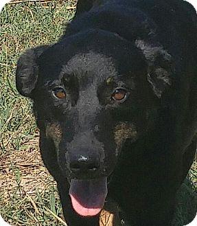 Labrador Retriever/Shepherd (Unknown Type) Mix Dog for adoption in Hagerstown, Maryland - Newby  (ETAA)