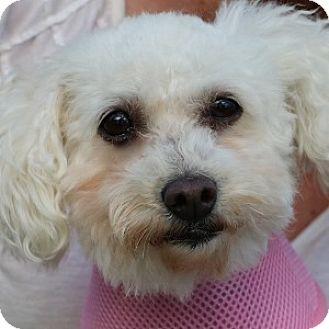 Bichon Frise Mix Dog for adoption in La Costa, California - Lily